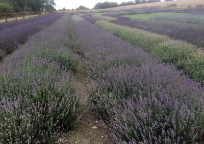 Hitchin Lavender Fields excursion-web